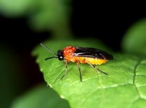 カブラハバチ(蕪葉蜂)