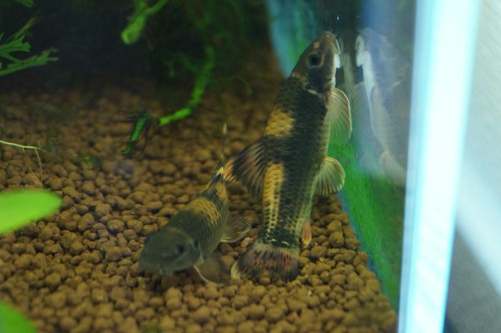 水槽壁面のコケ取り生体なら「パンダガラ」がおすすめ!ミナミヌマエビとも混泳可能!